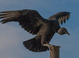 Black Vulture taken by Dan Mitchell in Apollo Beach, Florida on 12/16/2009.